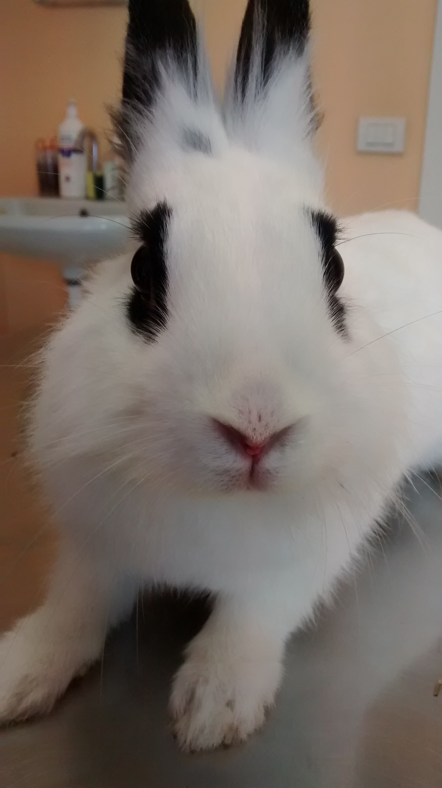 Coniglietta budino